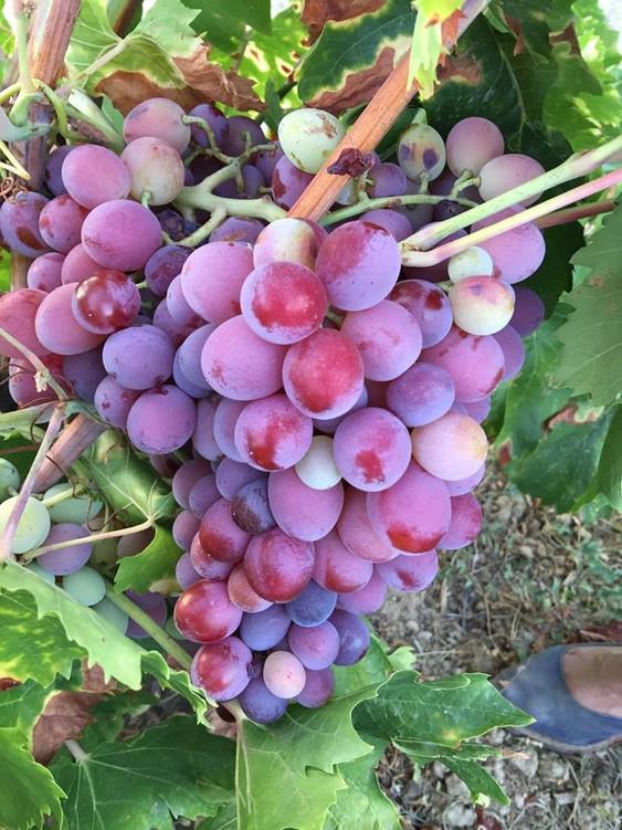 Envero de la variedad Garnacha en las viñas de Domblasco.   Fase de gran importancia dentro del cicl