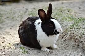 ペットのウサギ