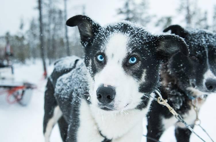 Husky sled experience, Sweden