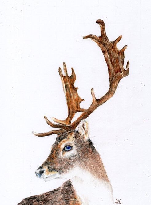 Print of original drawing of a stag by Sarah Caisey