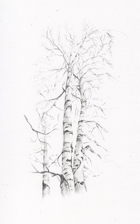 Print of an original drawing of Silver Birches by Sarah Caisey