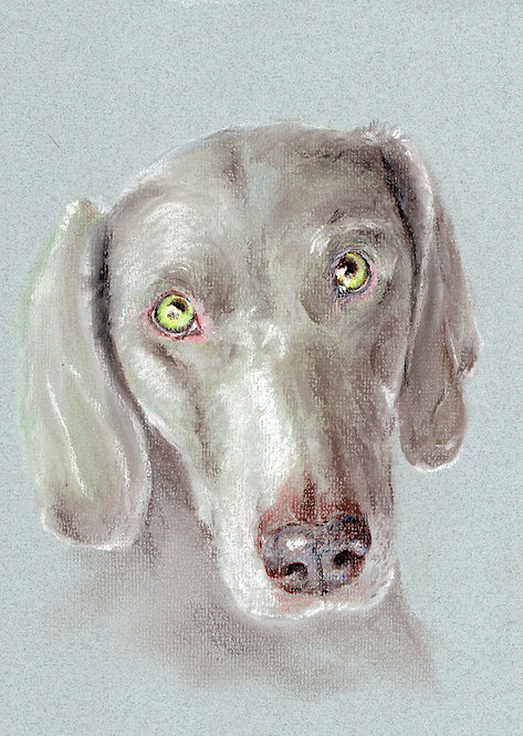 Print of a pastel drawing of a Weimaraner by Sarah Caisey