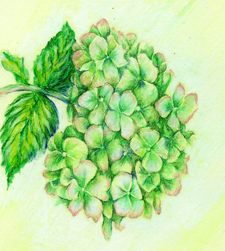 Print of original drawing of a Hydrangea by Sarah Caisey