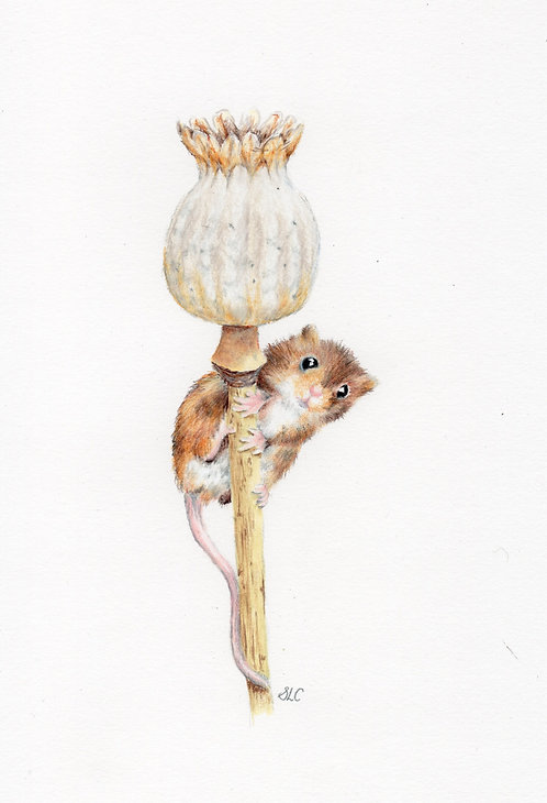Print of original drawing of a field mouse by Sarah Caisey