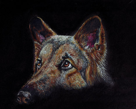 Print of original drawing of a German Shepherd by Sarah Caisey