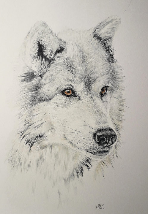Print of original drawing of a Wolf by Sarah Caisey