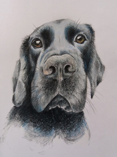Blank card. Black Labrador. Print of drawing by Sarah Caisey