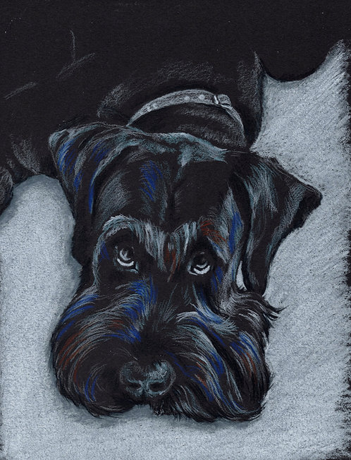 Blank card. Schnauzer. Print of original drawing by Sarah Caisey