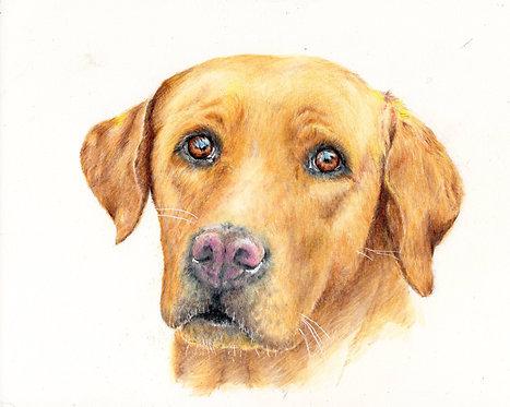 Print of an original drawing of a Labrador by Sarah Caisey