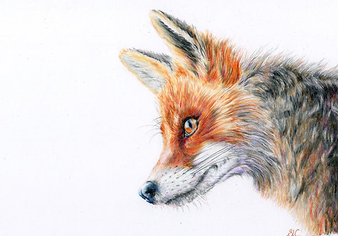 Print of an original drawing of  Fox by Sarah Caisey