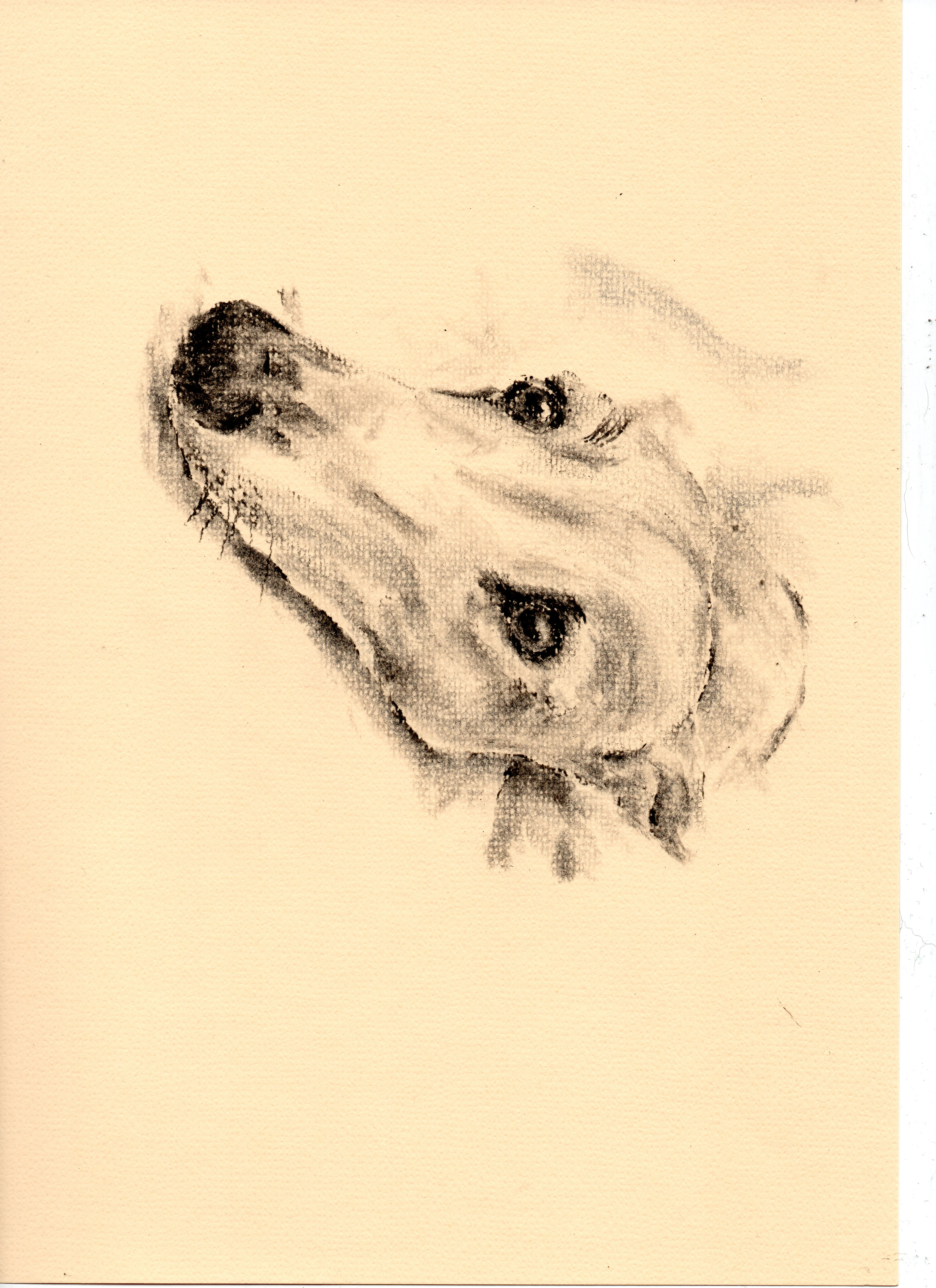Greyhound sketch