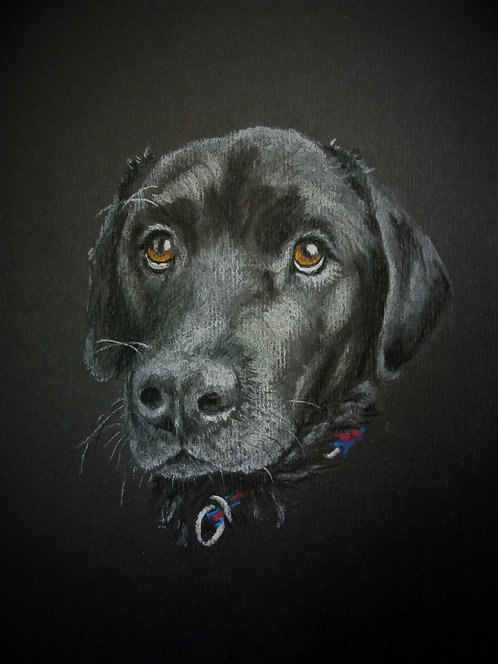 Print of an original drawing of a Black Labrador by Sarah Caisey