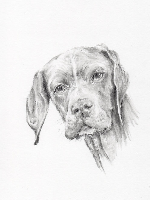 Print of original drawing of a Pointer by Sarah Caisey