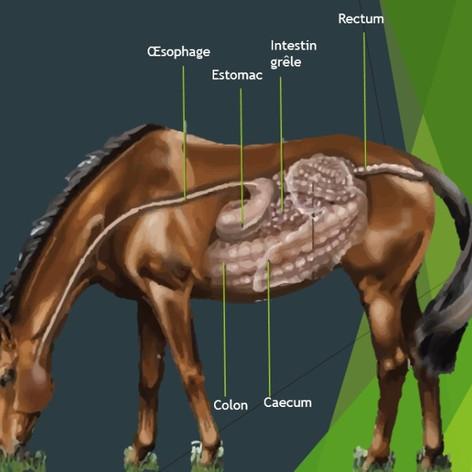 système digestif cheval