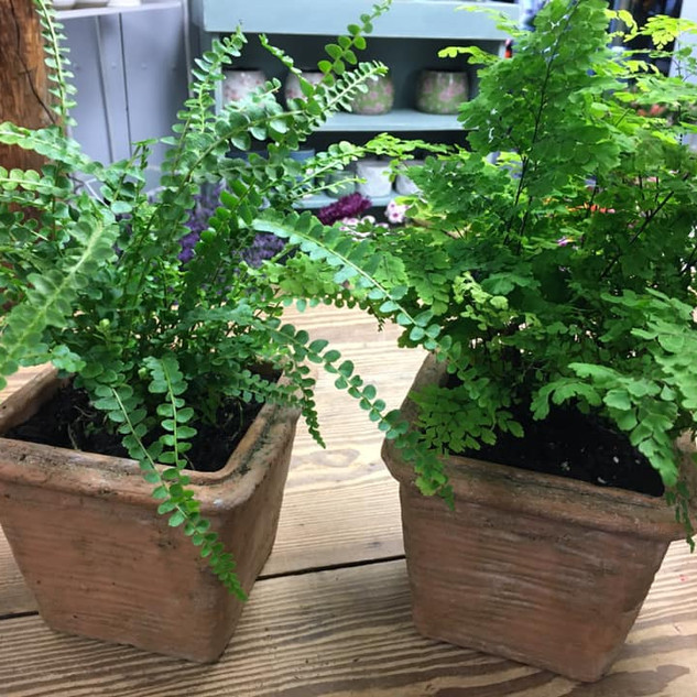 Ferns in Square Clay Pots.