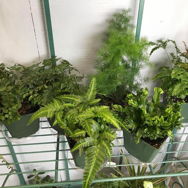 4 inch Ferns