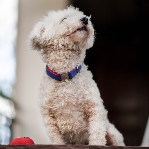 Maltese with our popular blue/red handmade collar