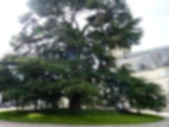 Ливанский кедр в Туре, город Тур Франция, город Тур, Тур, французскй город Тур