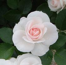 Aspirin- Rose