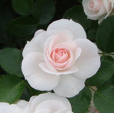 Die Aspirin - Rose