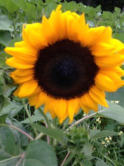 one sunflower.jpg