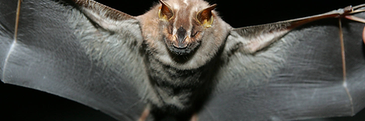 Morcegos.png