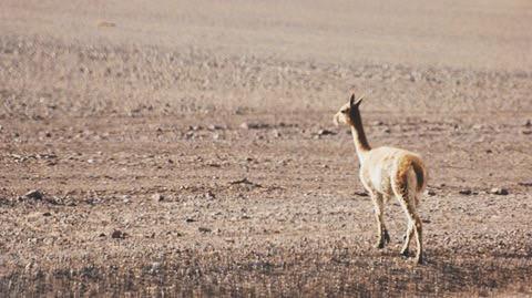 Vicuña - Desierto de Atacama, Chile - 2015 - Foto Raquel Bloomfield