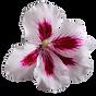 Doris Fresh Food - Hibiscus Flower