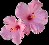 Doris Fresh Food - 2 open pink hibiscus flowers