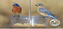 CS_Aspects_two_blue_colored_birds.JPG