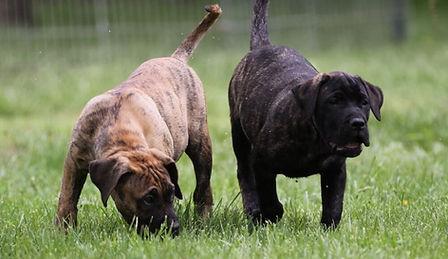 Presa Canario puppies