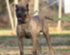 Presa Canario Puppies for Sale