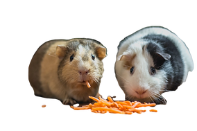 two%20guinea%20pigs%20eating%20cheese_ed