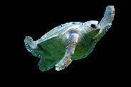 sea%20turtle%20under%20water_edited.png