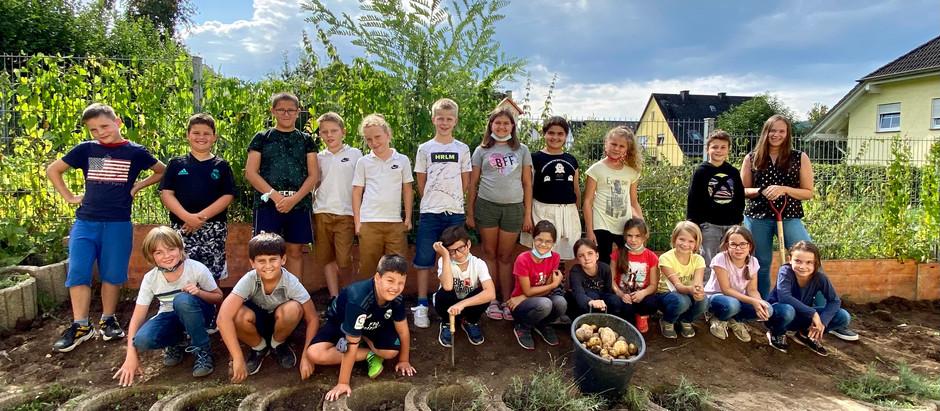Erfolgreiche Kartoffelernte im Schulgarten