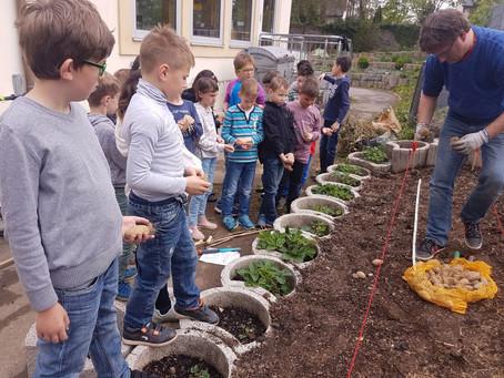 RAN AN DIE KNOLLE: Die Klassen 1a und 3 pflanzen Kartoffeln