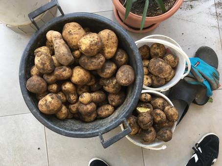 Ran an die Knollen! Kartoffelernte im Schulgarten!