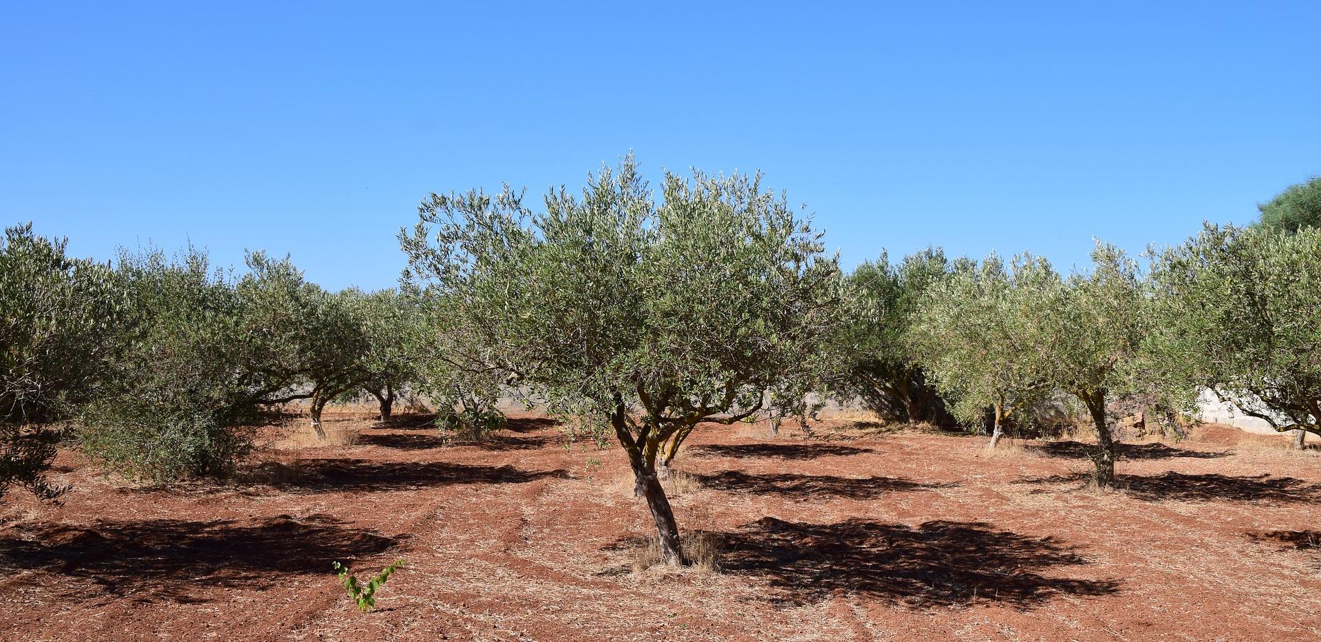 olive-trees-2660028_1920.jpg