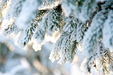 fir-tree-winter-close-up.jpeg