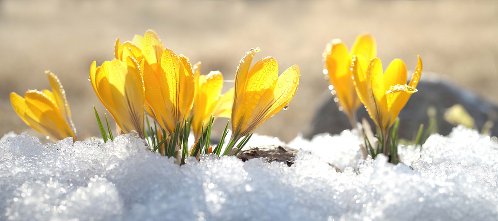 yellow crocuses blooming through the snow in the spring