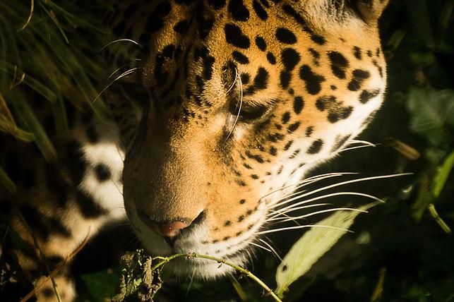 africa-zoo-tiger-cat-9322.jpg
