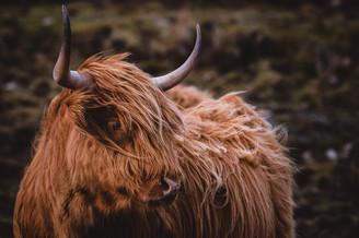Hairy Cow Scotland Edinburgh Wanderlust
