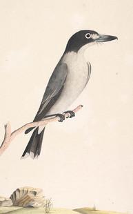 Grey Butcherbirds