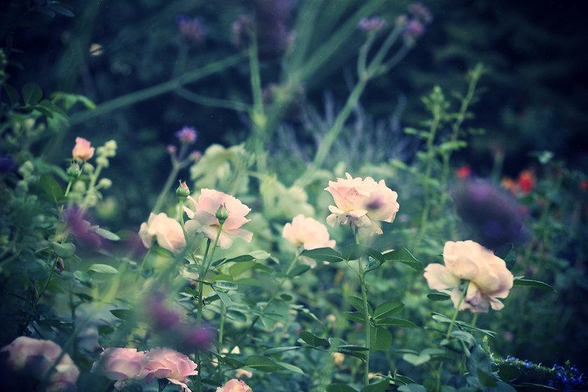 Pink Lilac Flowers .jpg_effected-001 cop
