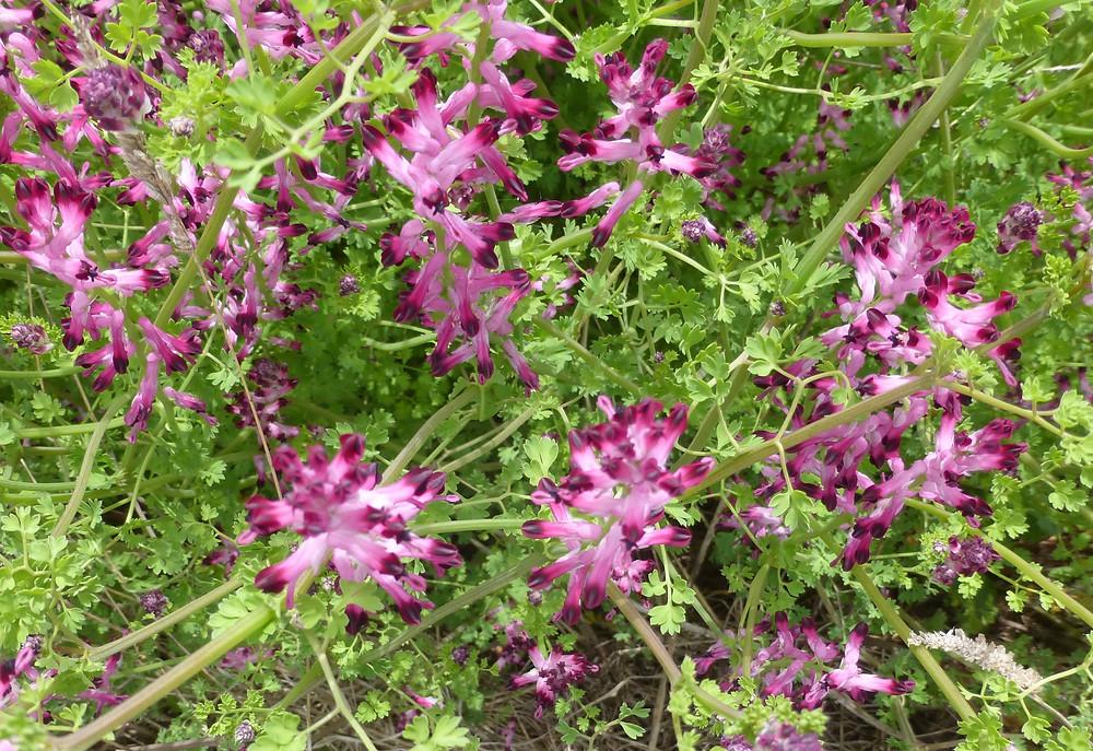 Camino purple flowers