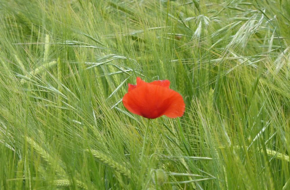 Camino Lone Poppy Flower
