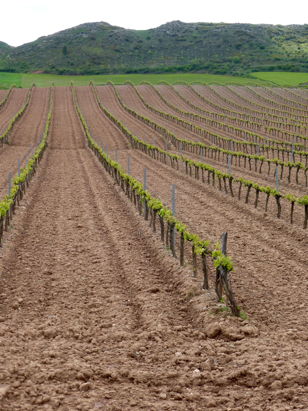 Spain, Camino de Santiago, vineyard