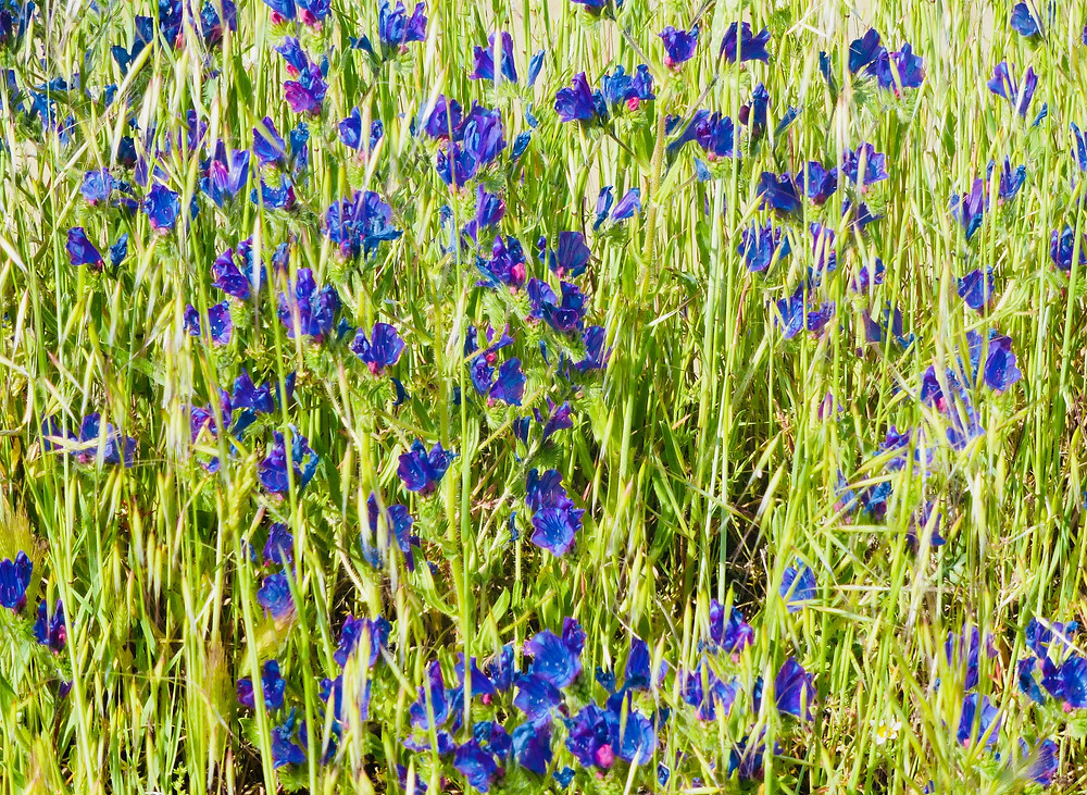 Flowers along the Camino de Santiago