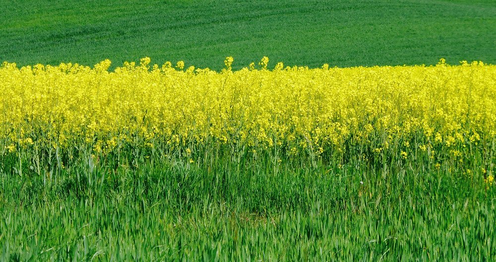 Fields of yellow canola plants