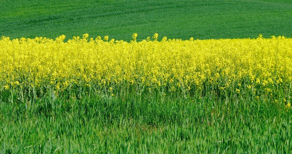 Fields of yellow canola plants